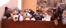 Puppies 5 Weeks